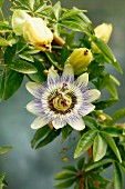 Passion flower on the plant