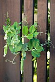 Sweet Pea Vines Growing through a Fence
