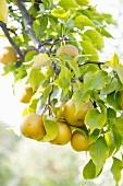 Nashi-Birnen am Baum