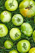 Green Tomatoes in Grass