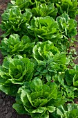 Romaine lettuce growing in the field