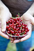 Hands holding a dish of red currants
