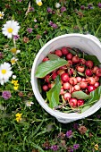 Pail with cherries in a field
