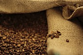 Roasted brown coffee beans in a light brown jute sack in the humidor at a coffee roasting house