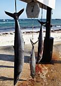 Frisch gefangene Barrakudas auf einer Waage am Strand