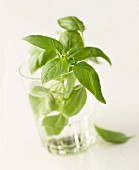 Sprig of basil in a water glass