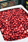 Fresh Cranberries at a Farmers Market