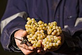 Picker holding Chardonnay grapes in vineyard of Matetic. San Antonio Valley, Chile. [Rosario Valley]