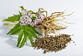 Valerian (roots, leaves, flowers), fresh and dried