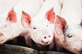 Pigs at a feed trough