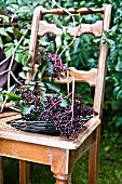 A sprig of elderberries on a chair in the garden