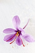 A saffron crocus
