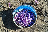 Collected saffron flowers in a bucket on the ground