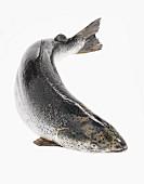 Ein frischer Lachs