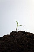 Watering Seedling Planted in Pile of Dirt