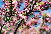Blühender Zierapfelbaum