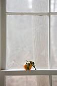 Tangerine in window