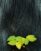Herbstlaub auf verwittertem, alten Holz