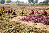 Indische Frauen auf einem Zwiebelfeld