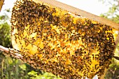 Hundreds of Bees on Honey Comb