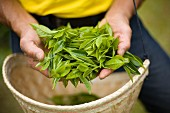 Hands Holding Tea Leaves Over Basket