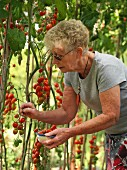 Elderley female picking tomatoes in domestic greenhouse