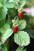 Wild strawberries on the plant