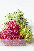 Various fresh bean sprouts in a plastic punnet