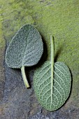 Two fresh sage leaves (close-up)