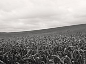 Wheat Field on Cloudy Day