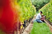 Familie bei der Weinlese im Weinberg des Chateau de Chantegrive, Podensac, Gironde