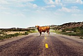 Cow on Rural Highway