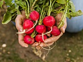 Hands holding a bunch of radishes fresh from the ground