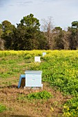 Beehives in flowering meadow