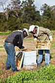 Two bee keepers checking honeycombs