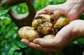 Hands holding freshly harvested potatoes from the garden