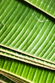 Freshly cut banana leaves