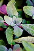 Fresh purple sage (close up)