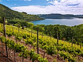 Vineyard of Casa Silva above the lake at Lago Ranco, Patagonia, Chile