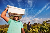 Picker carrying a crate of Grenache grapes destined for Andrea Leon s Collection range at Lapostolle, Caliboro, Maule Valley, Chile