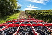 Kisten mit geernteten Nebbiolo-Trauben im Weinberg (Barolo, Piemont, Italien)