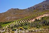 Pinot Noir Weinberg von Oak Valley Estate, Elgin, Western Cape, Südafrika