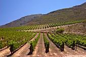 Merlot und Sauvignon Blanc Weinberge von Oak Valley Estate, Elgin, Western Cape, Südafrika