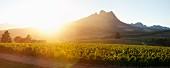 Sonnenaufgang über dem Simonsberg (Warwick Estate, Stellenbosch, Western Cape, Südafrika)