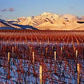 Snow on vineyard of Ballochdale Estate in the Upper Awatere Valley with Mount Tapuae-O-Uenuku beyond, Marlborough, New Zealand