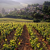 View down to Pernand-Vergelesses from Chardonnay vineyard on the hill of Corton, Côte d Or, France (Corton Côte de Beaune Grand Cru)