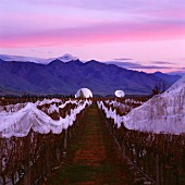 Vineyard of Tohu and the Electronic Intelligence Gathering Base in the Waihopai Valley, Marlborough, New Zealand