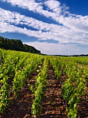 Chambertin vineyard, looking north to Gevrey-Chambertin, Côte-d Or, France, Côte de Nuits Grand Cru