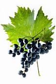 Muscat bleu grapes with a vine leaf