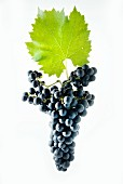 Cabernet Jura grapes with a vine leaf